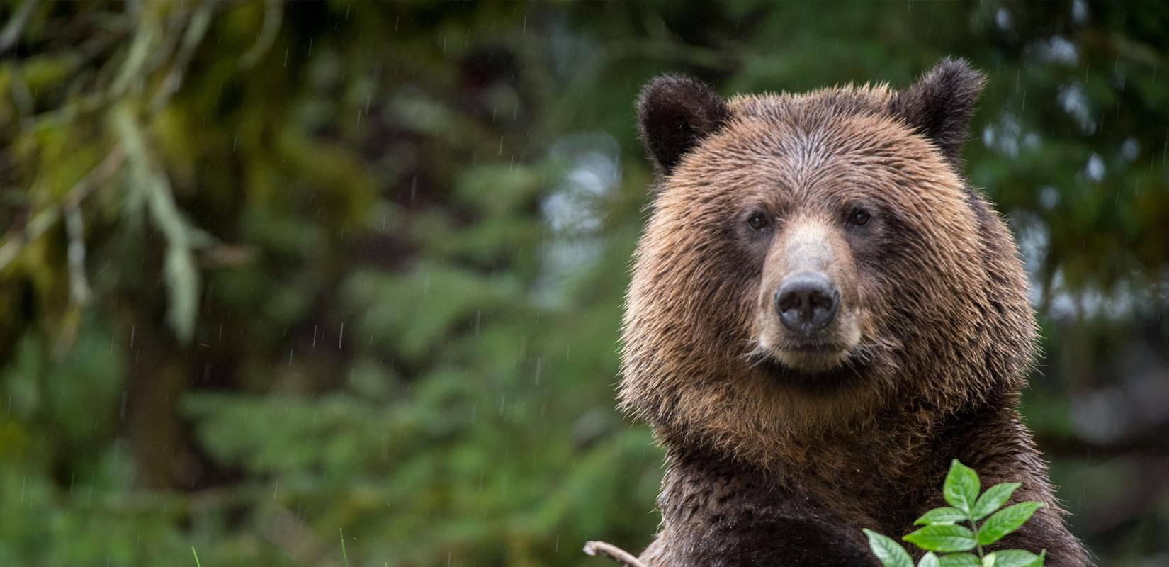 Открит е труп на кафява мечка в района на село Арда, община Смолян, област Смолян